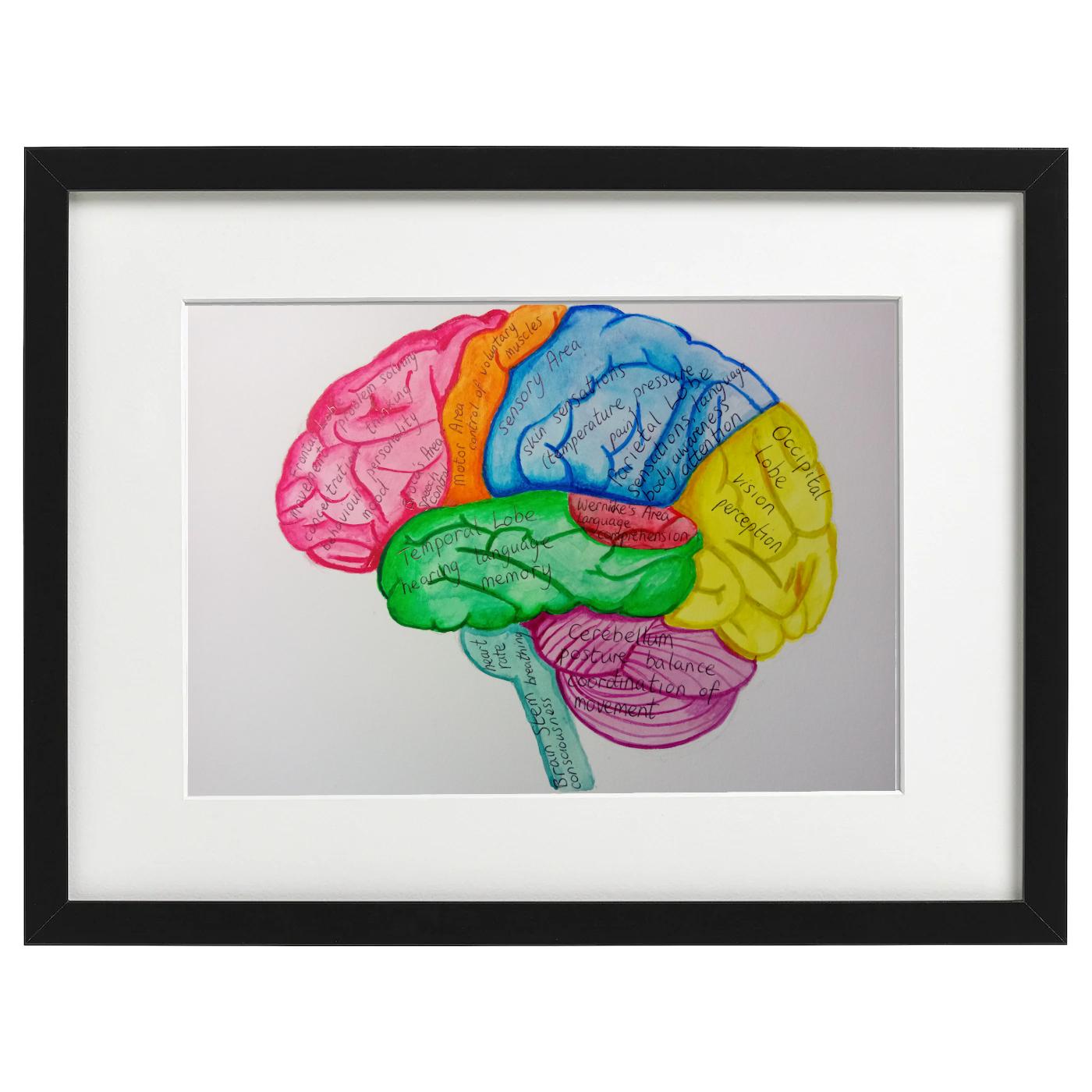 Brain anatomy watercolour